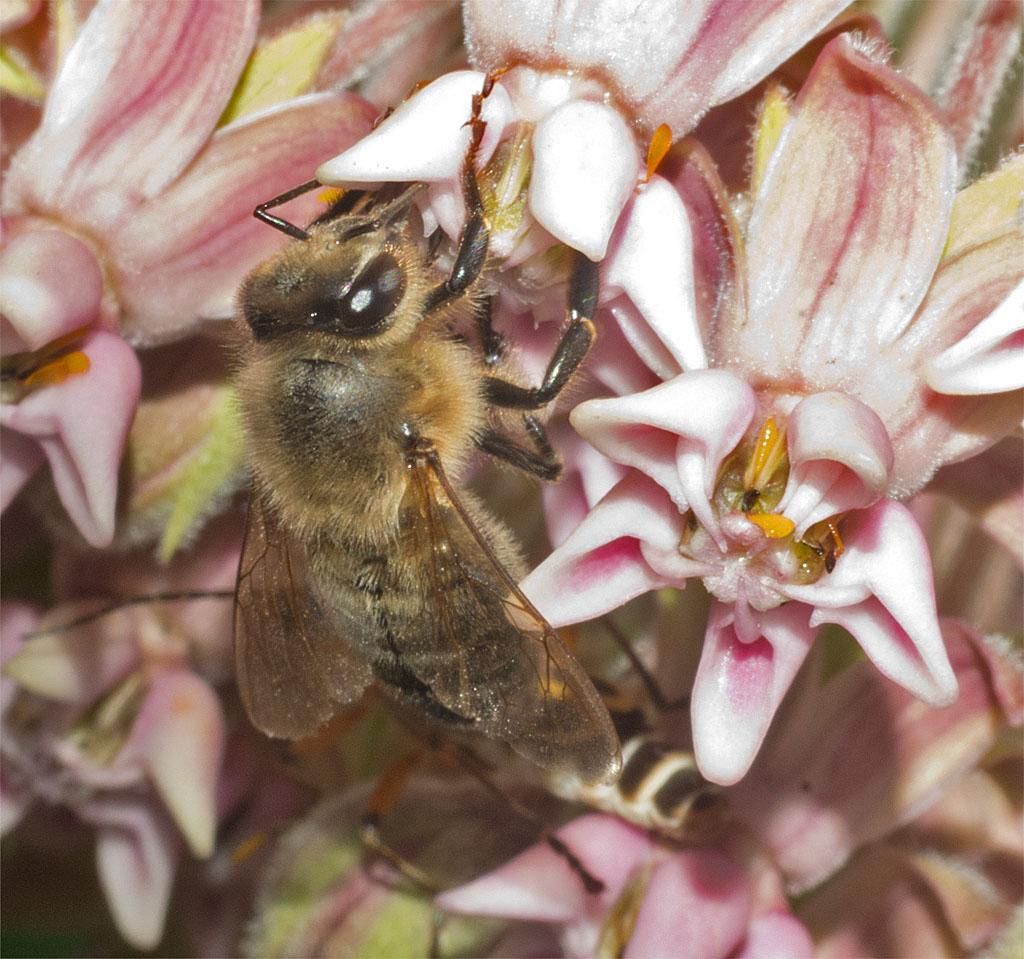 Bee 219