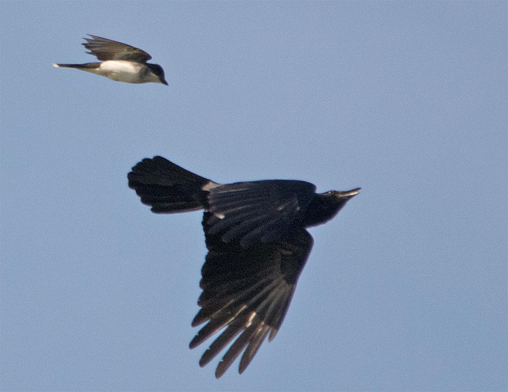 Eastern Kingbird 2016-23