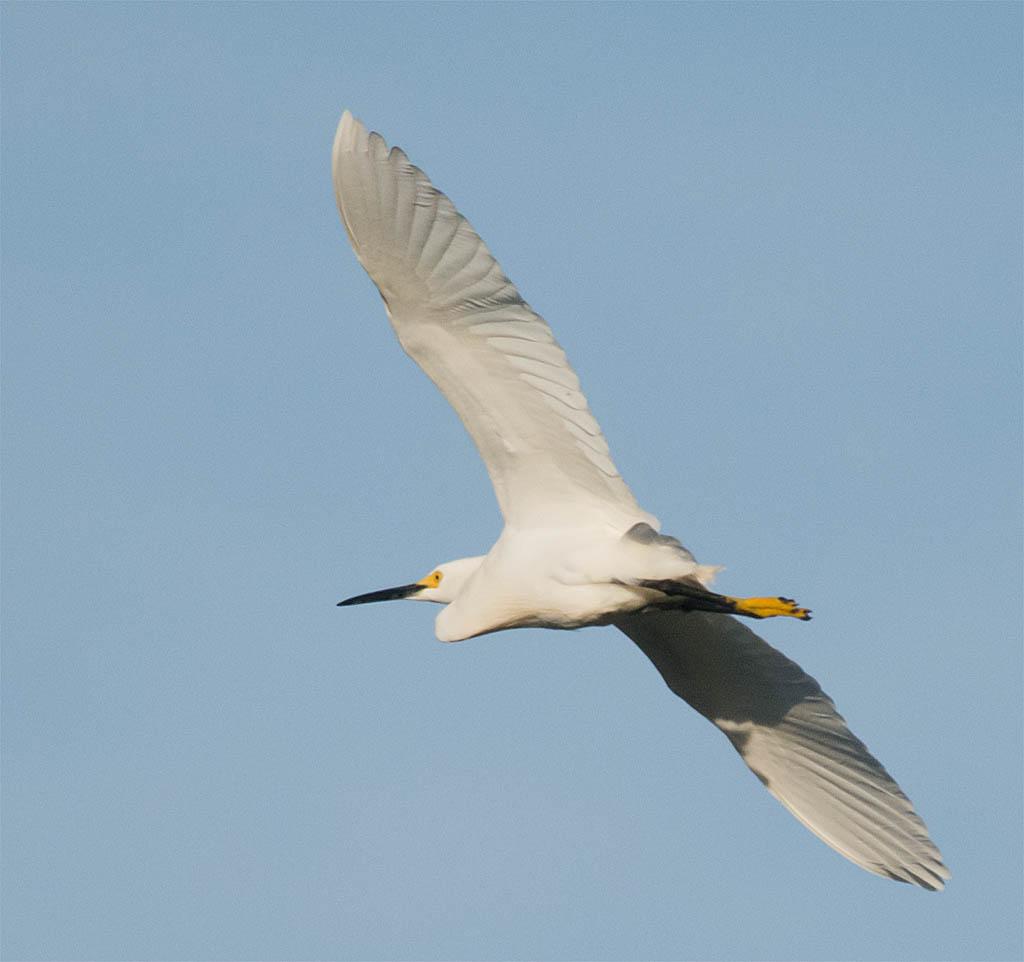 Snowy Egret 2016-14