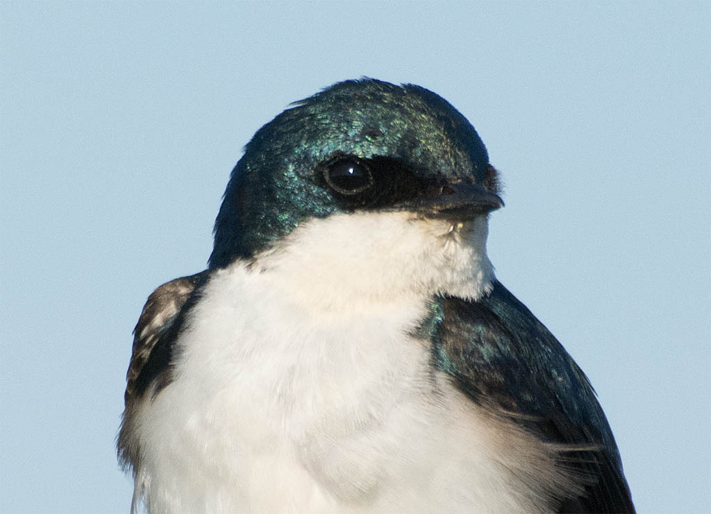 Tree Swallow 2016-61