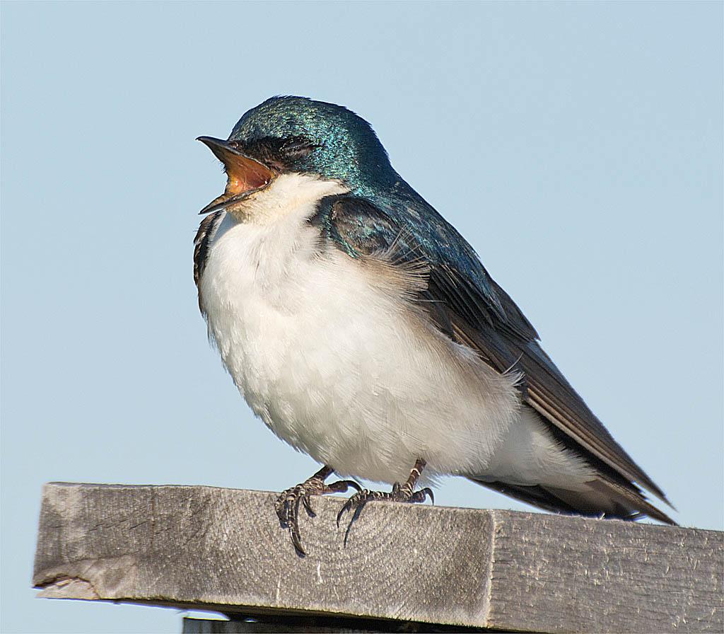 Tree Swallow 2016-62