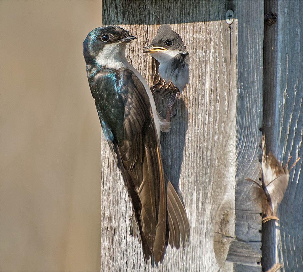 Tree Swallow 2016-63