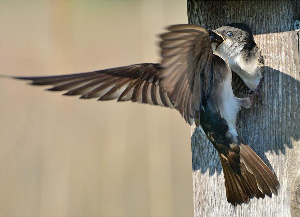 Tree Swallow 2016-65