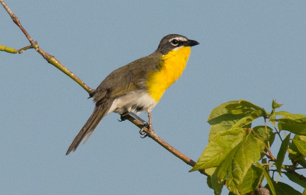 Yellow Breasted Chat 2016-2