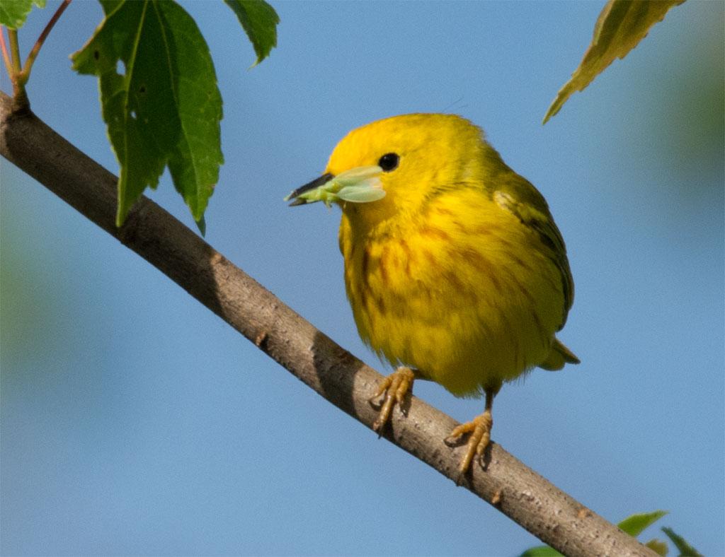 Yellow Warbler 2016-20