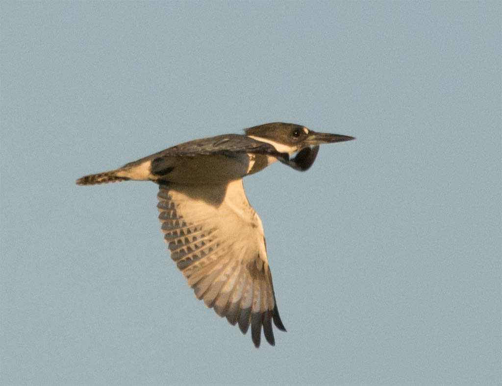 Belted Kingfisher 2016-2