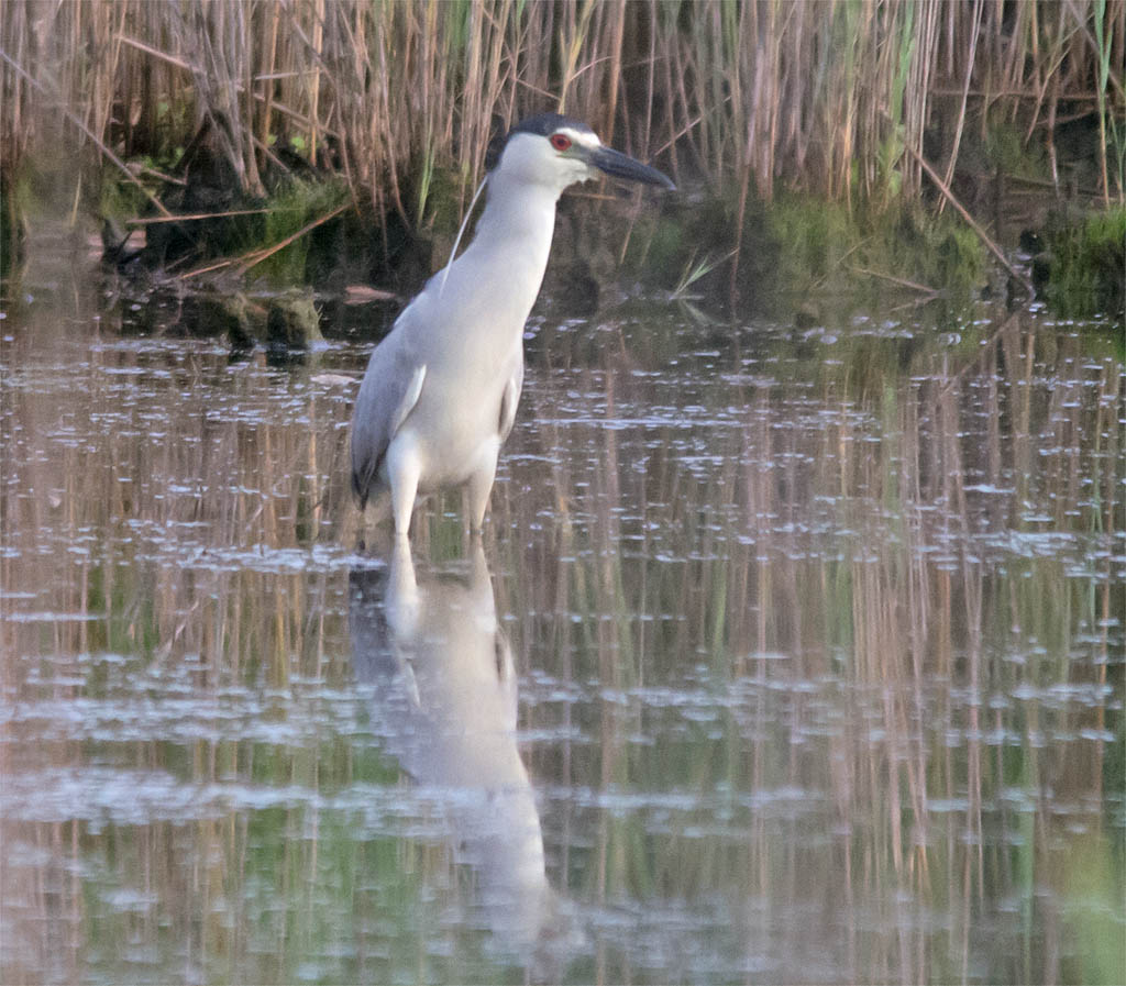 Black Crowned Night Heron 2016-3