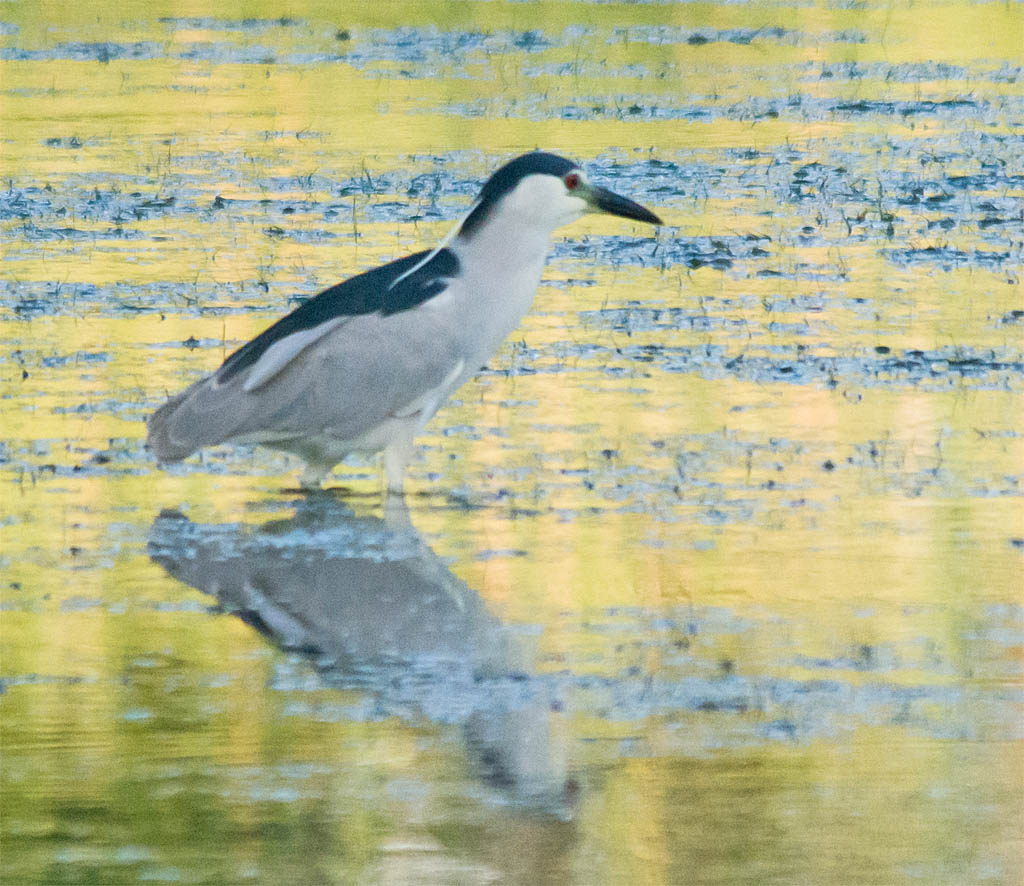 Black Crowned Night Heron 2016-8