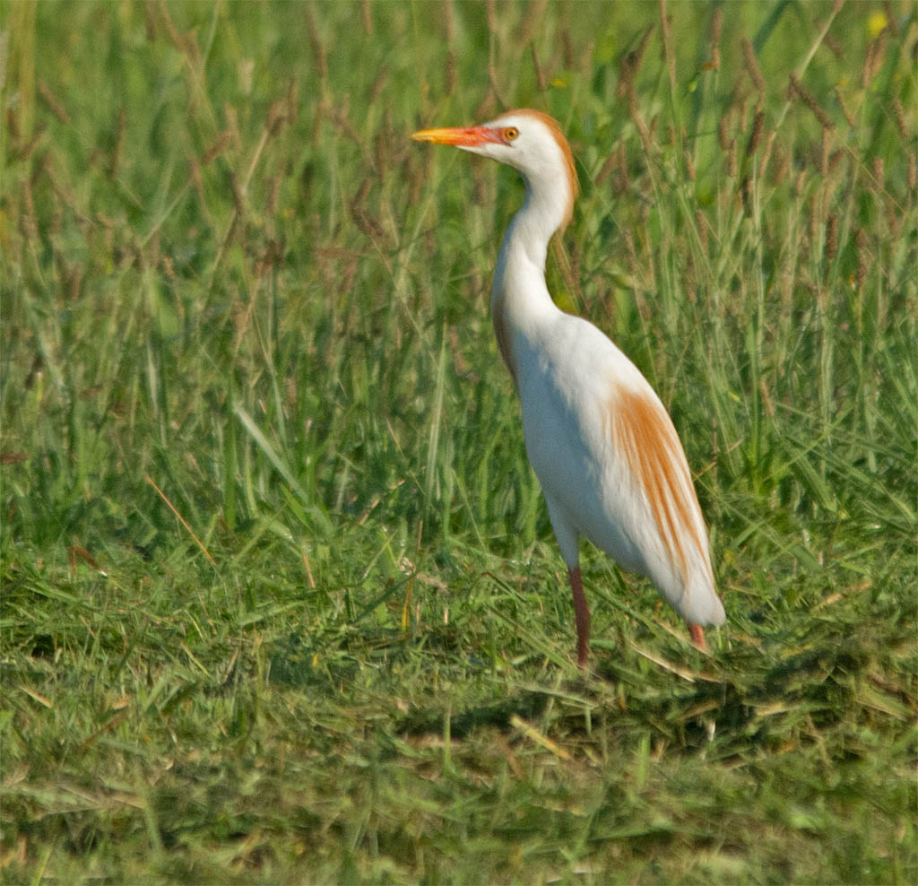 Cattle Egret 2016-19