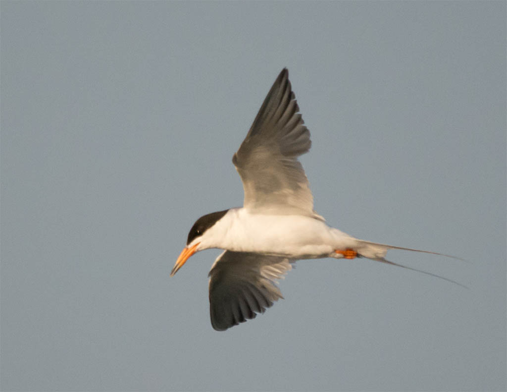 Common Tern 2016-10