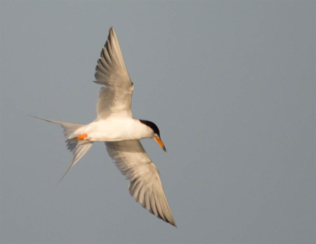 Common Tern 2016-6