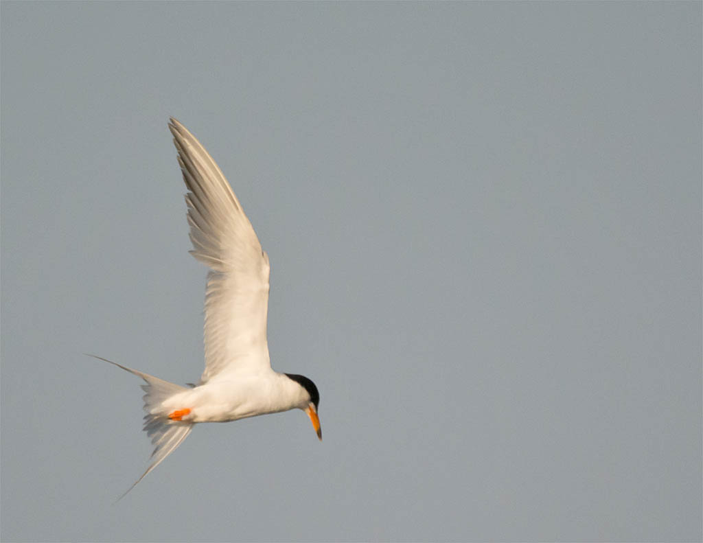 Common Tern 2016-7