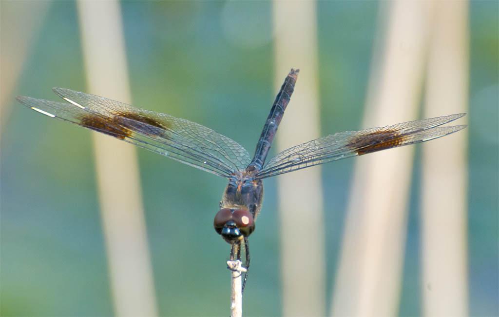 Dragonfly 72