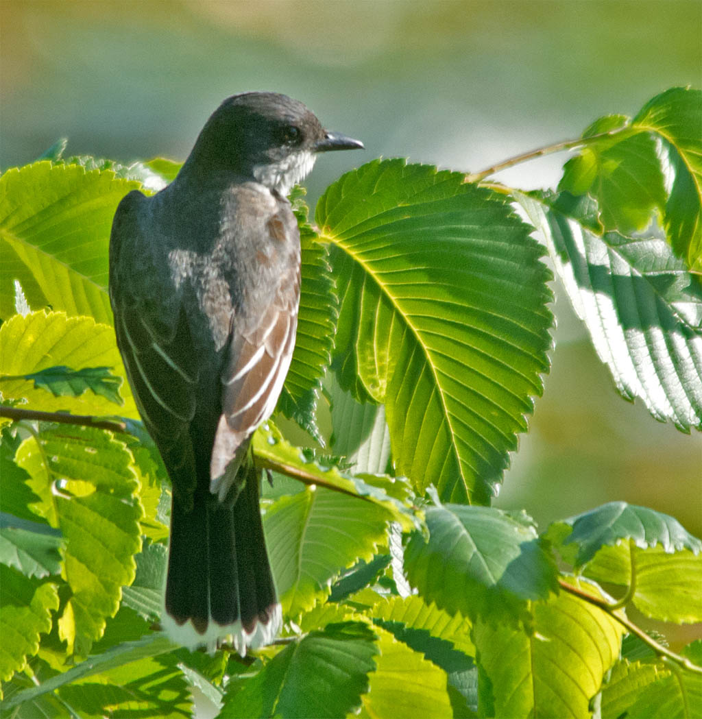 Eastern Kingbird 2016-33