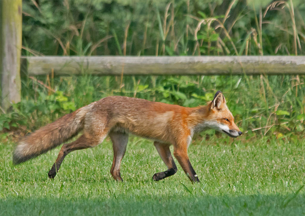 Fox 53