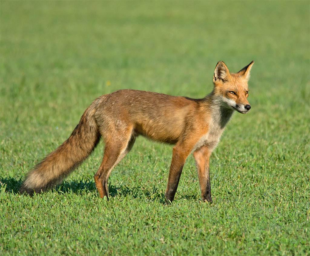 Fox 59