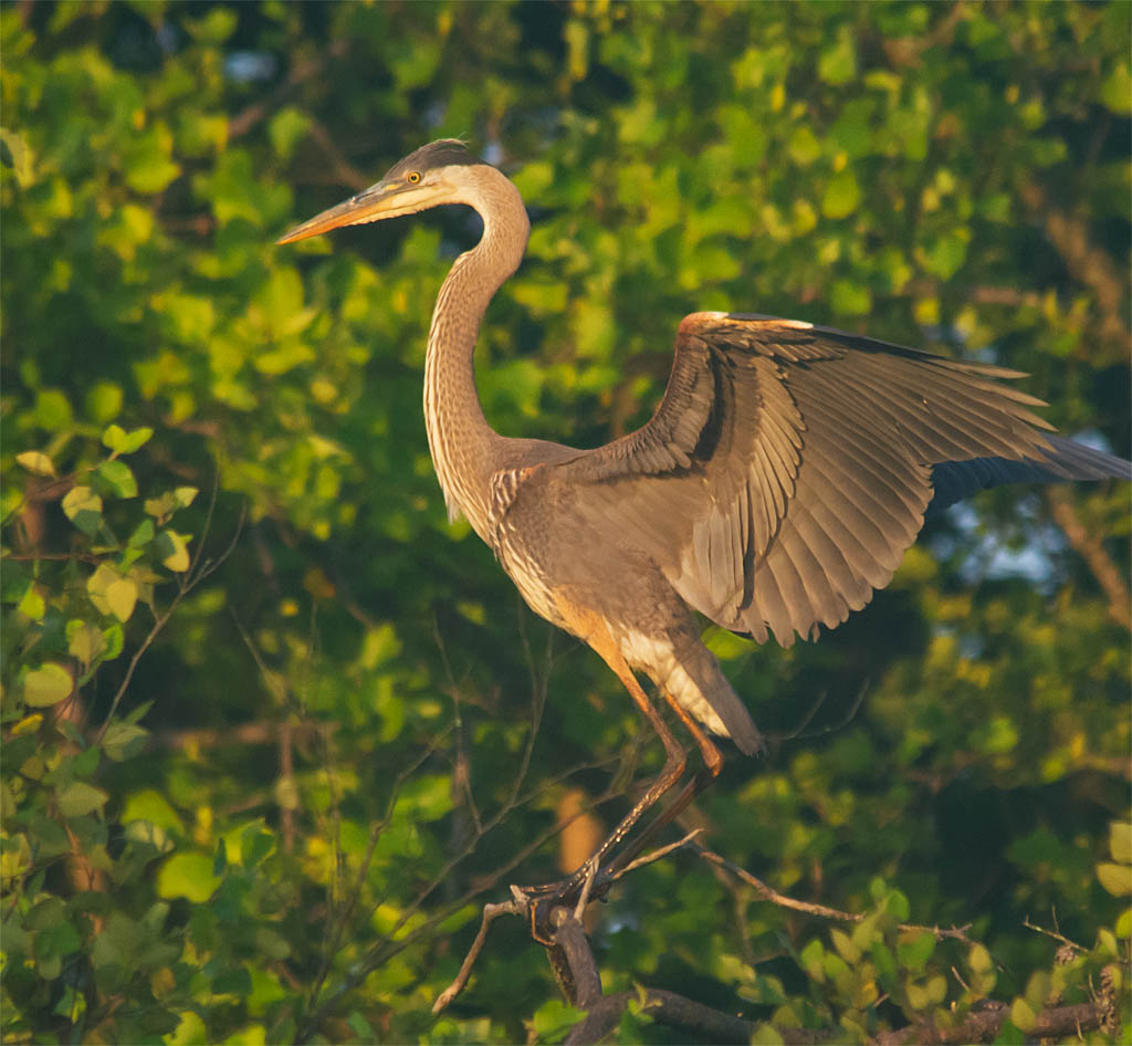 Great Blue Heron 2016-35