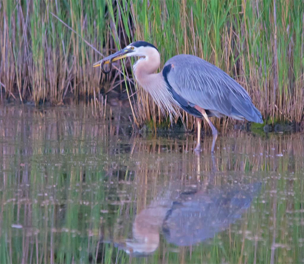 Great Blue Heron 2016-36