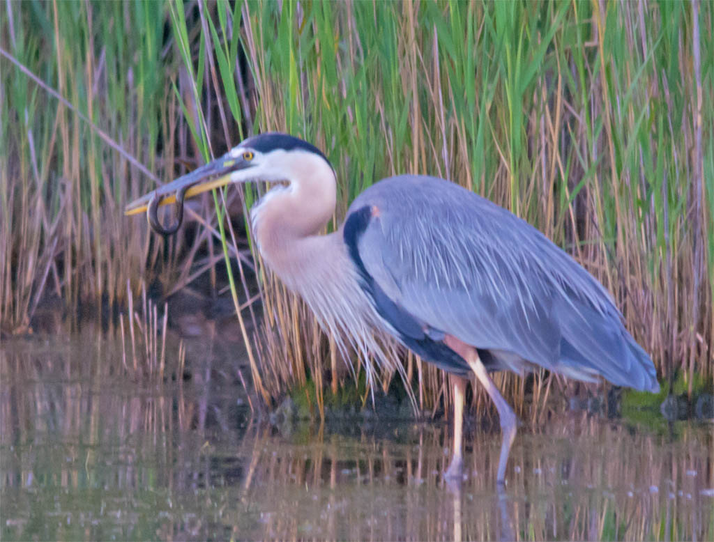 Great Blue Heron 2016-37