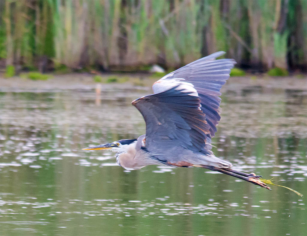 Great Blue Heron 2016-38