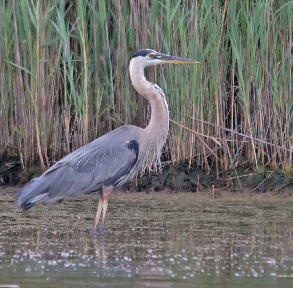Great Blue Heron 2016-51