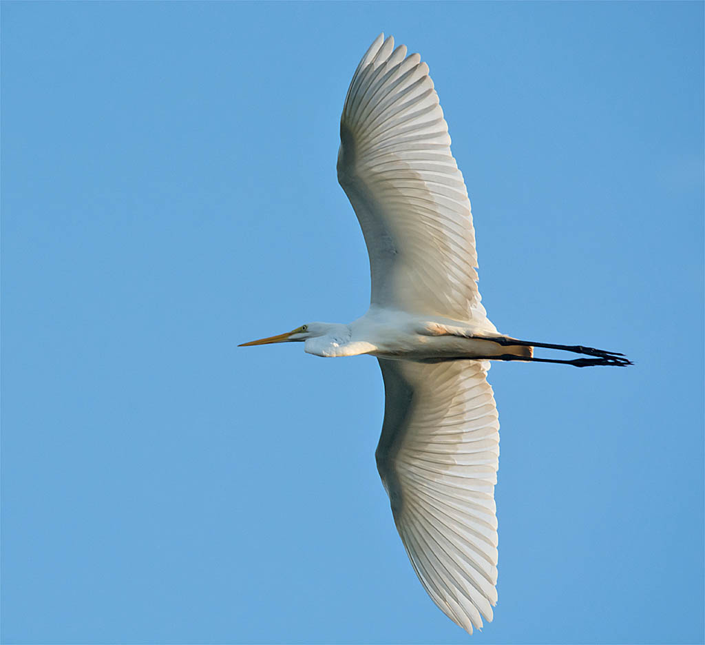 Great Egret 2016-12
