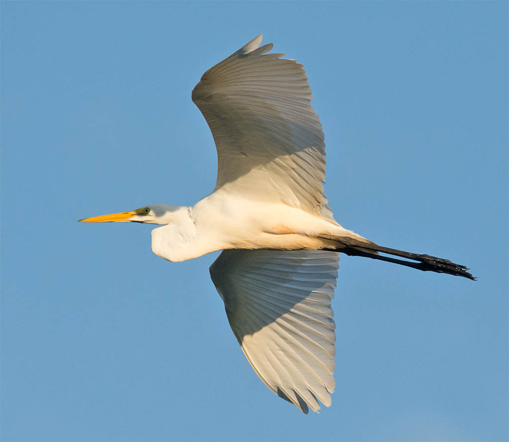 Great Egret 2016-13