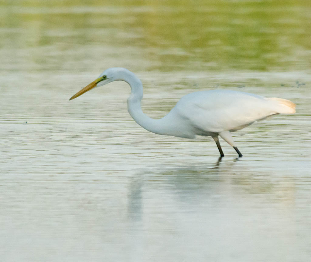 Great Egret 2016-15