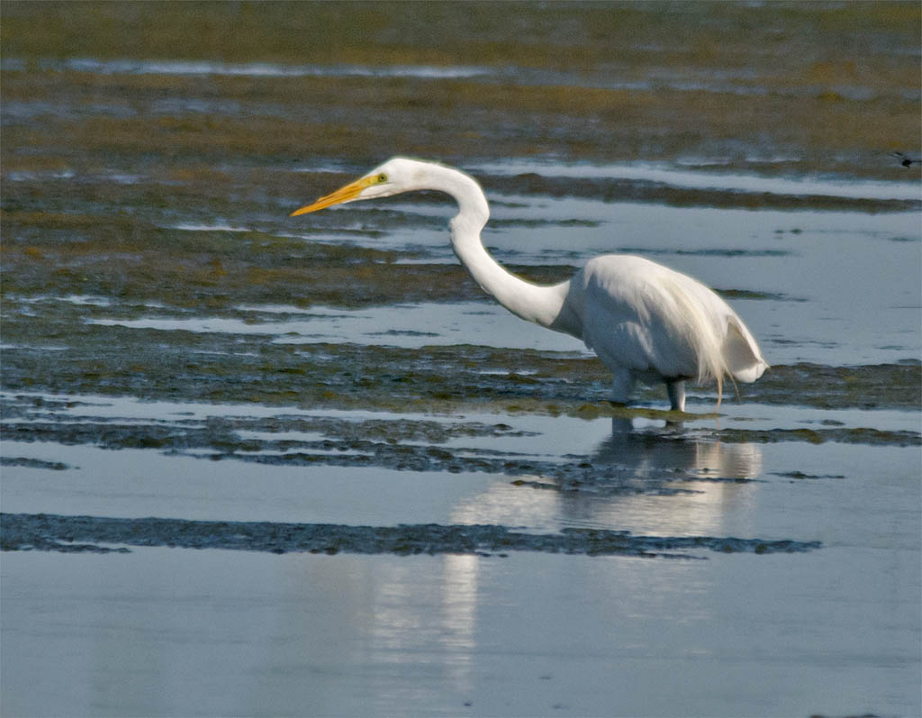 Great Egret 2016-8