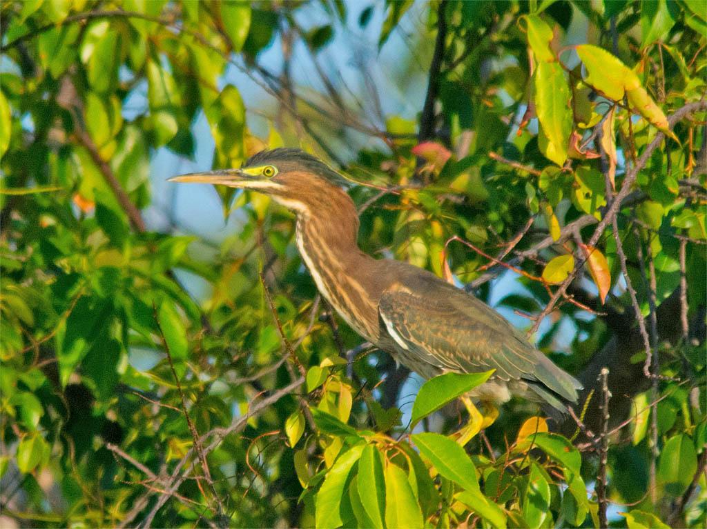 Green Heron 2016-36