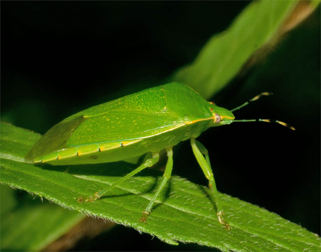 Insect 776