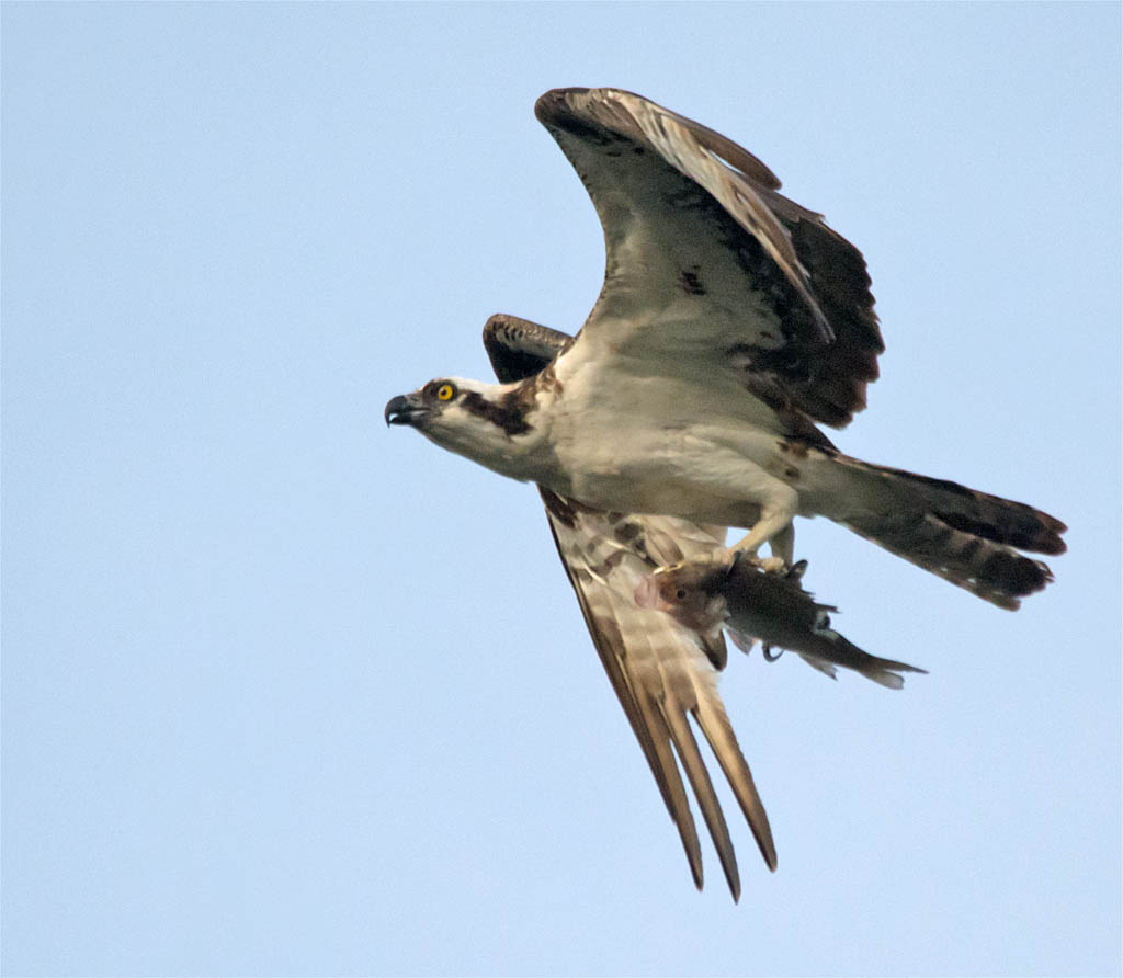 Osprey 2016-76