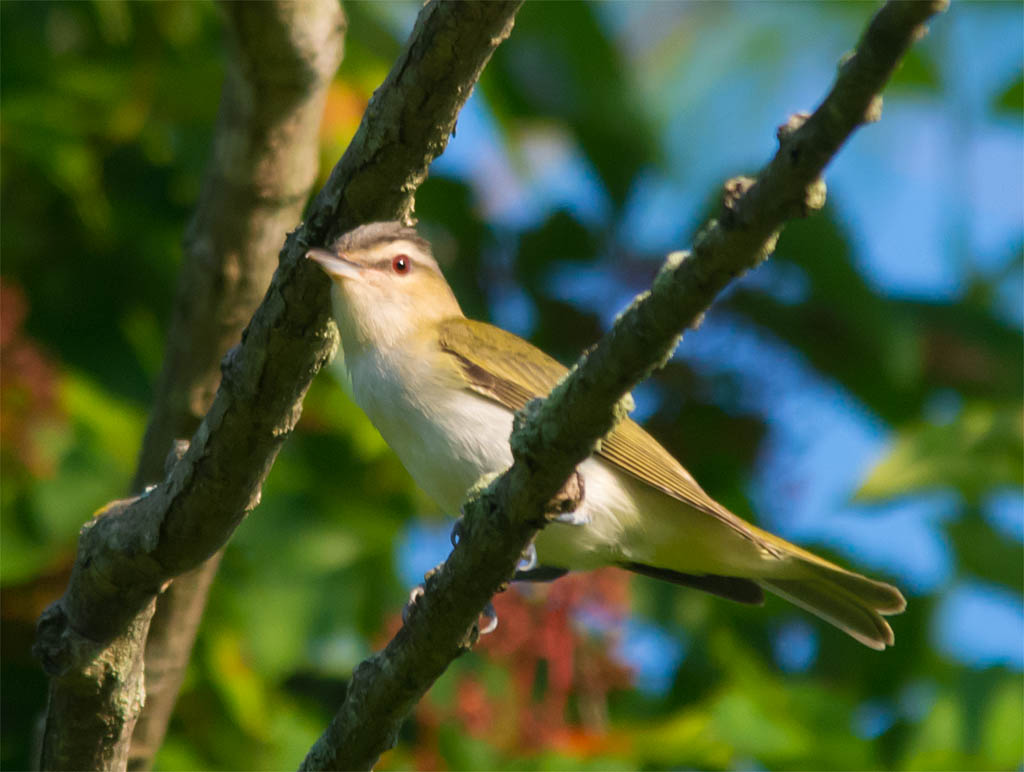 Red Eyed Vireo 2016-4