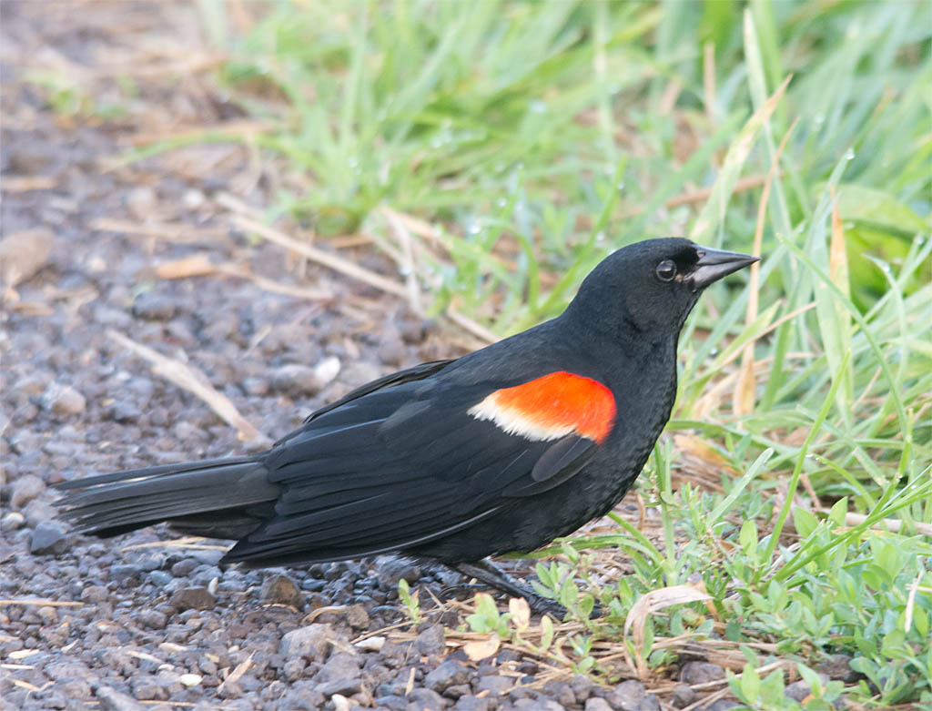 Red Winged Blackbird 2016-45