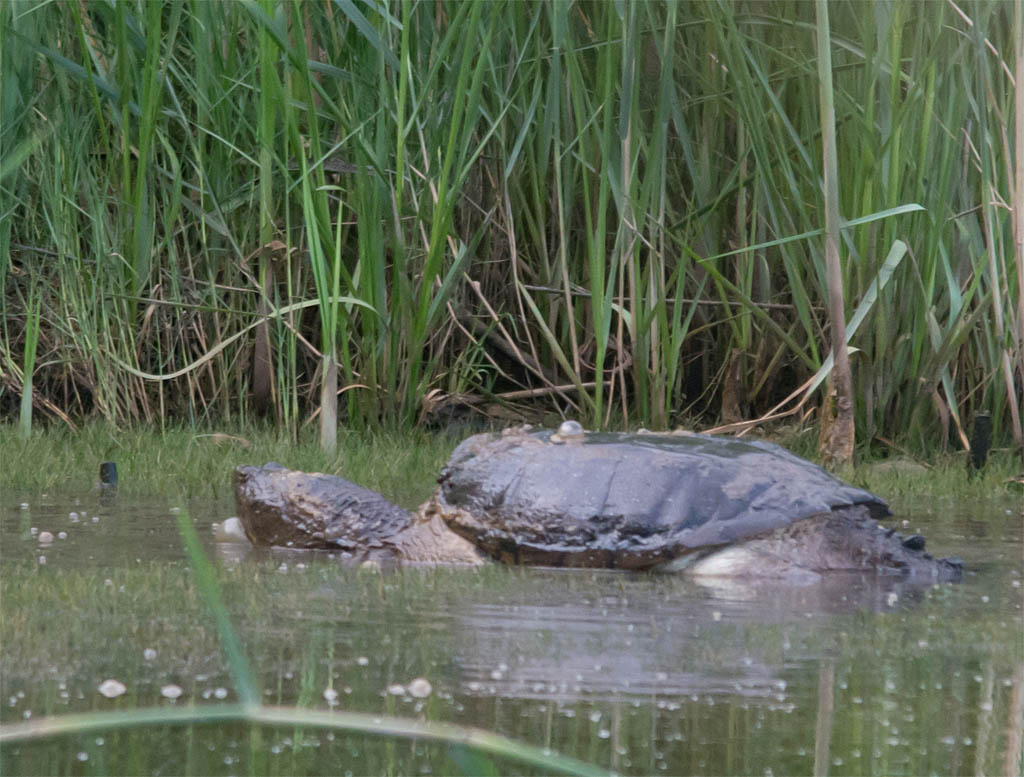 Snapping Turtle 13