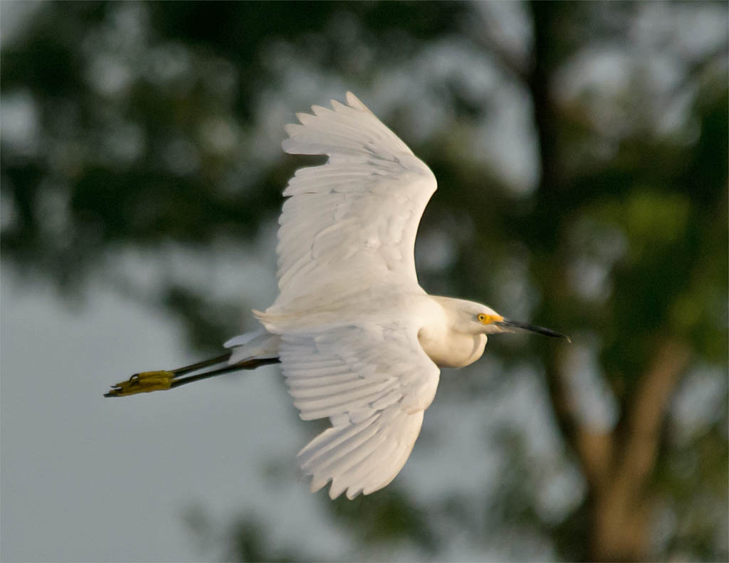 Snowy Egret 2016-26