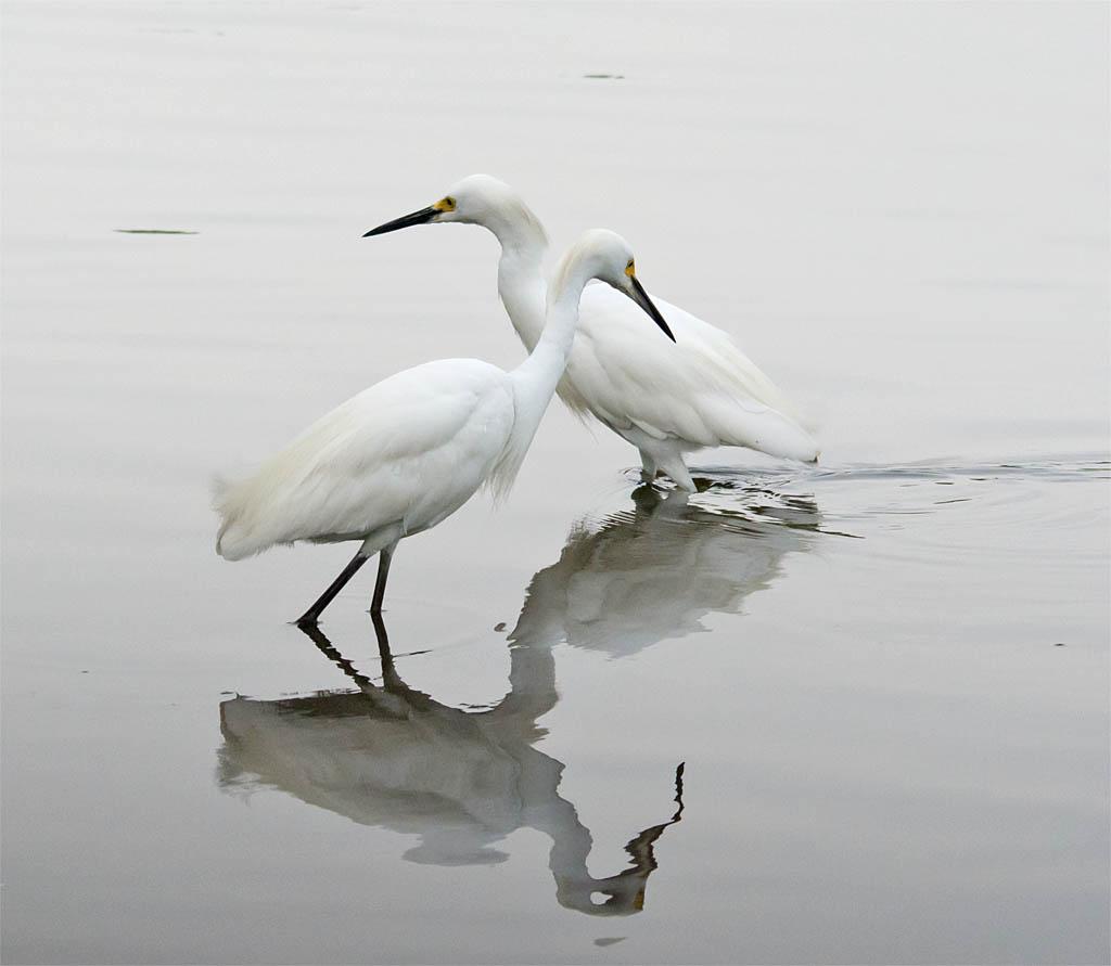 Snowy Egret 2016-42