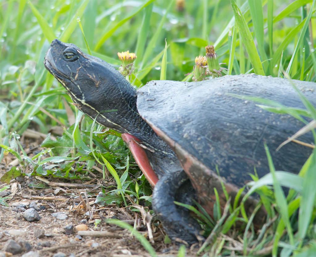 Turtle 63