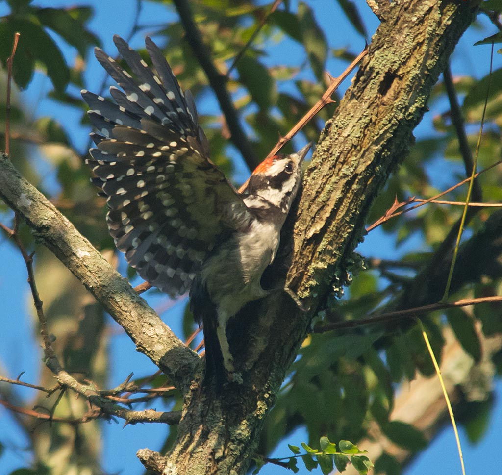 Downy Woodpecker 2016-7