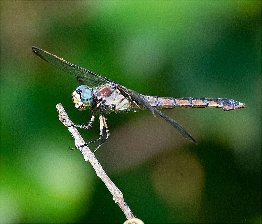 Dragonfly 81