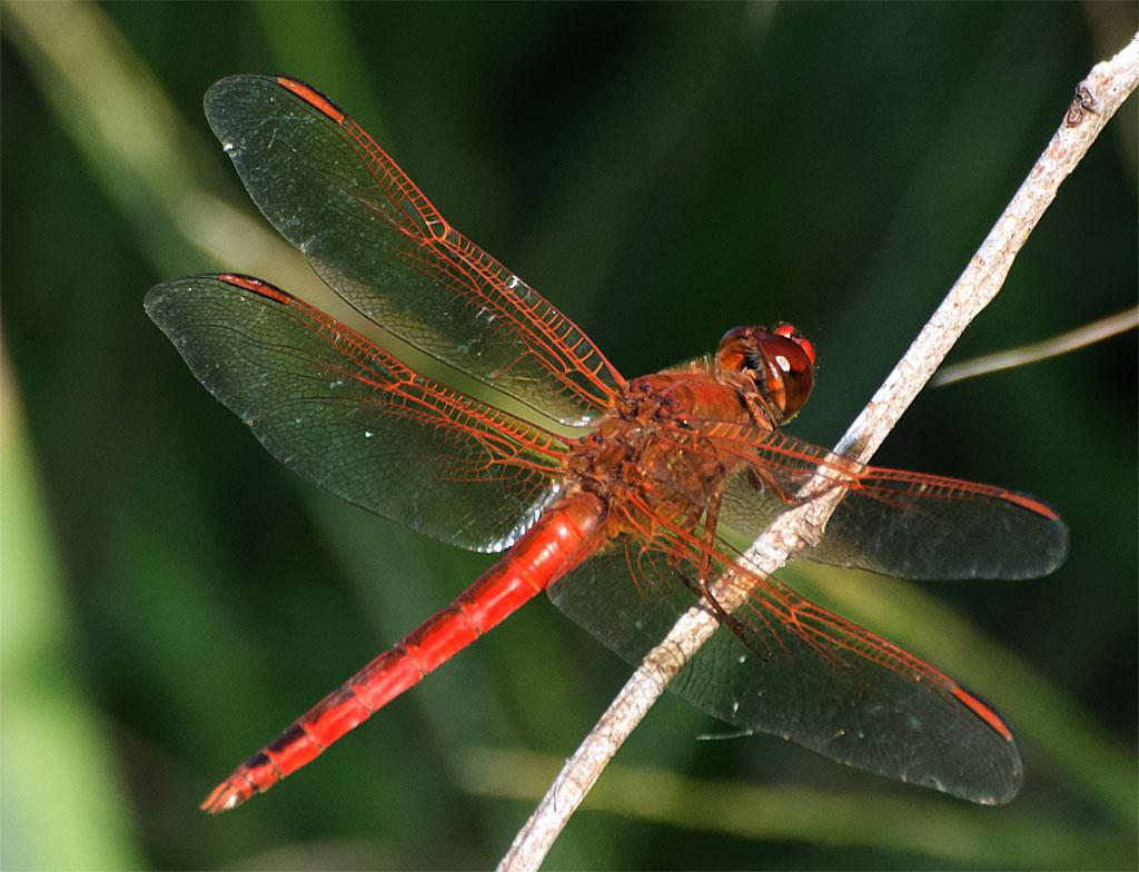 Dragonfly 83