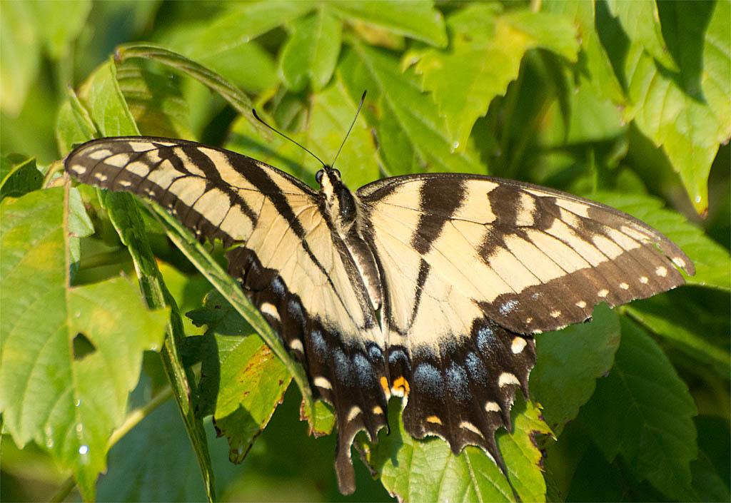 Eastern Tiger Swallowtail 101