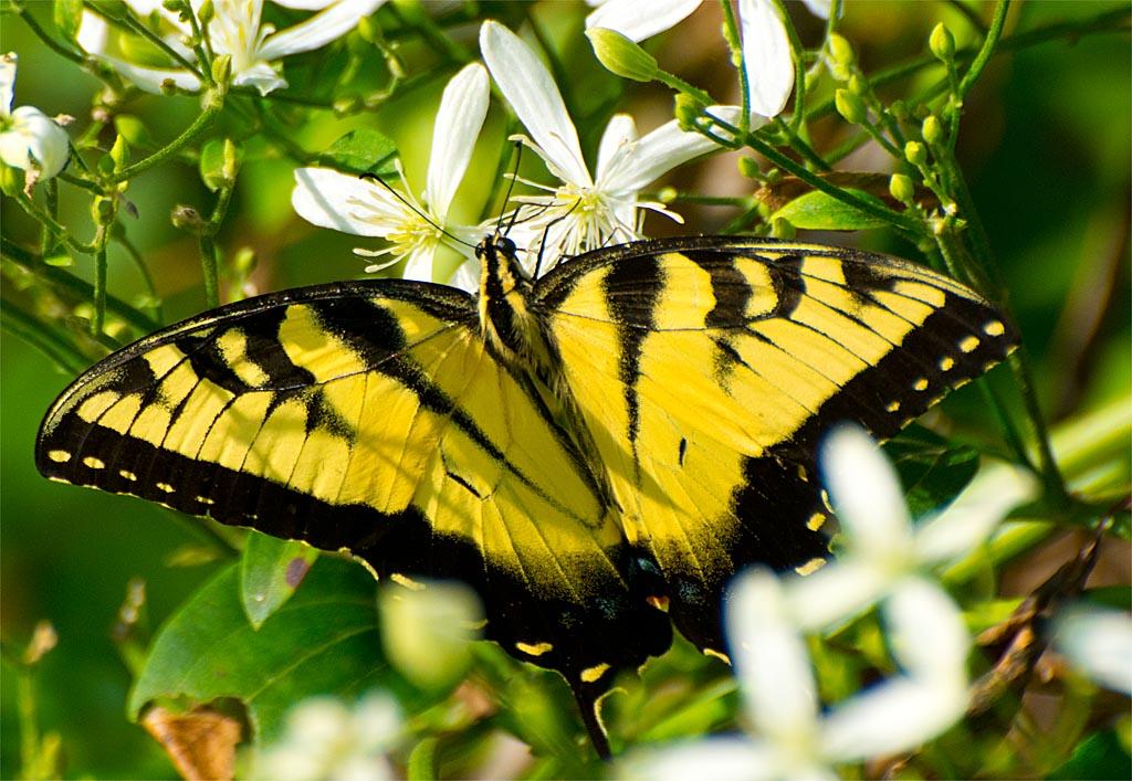 Eastern Tiger Swallowtail 104