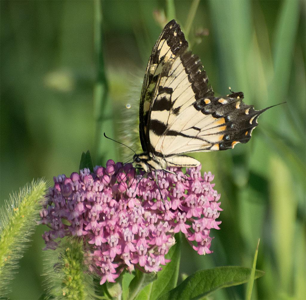 Eastern Tiger Swallowtail 60