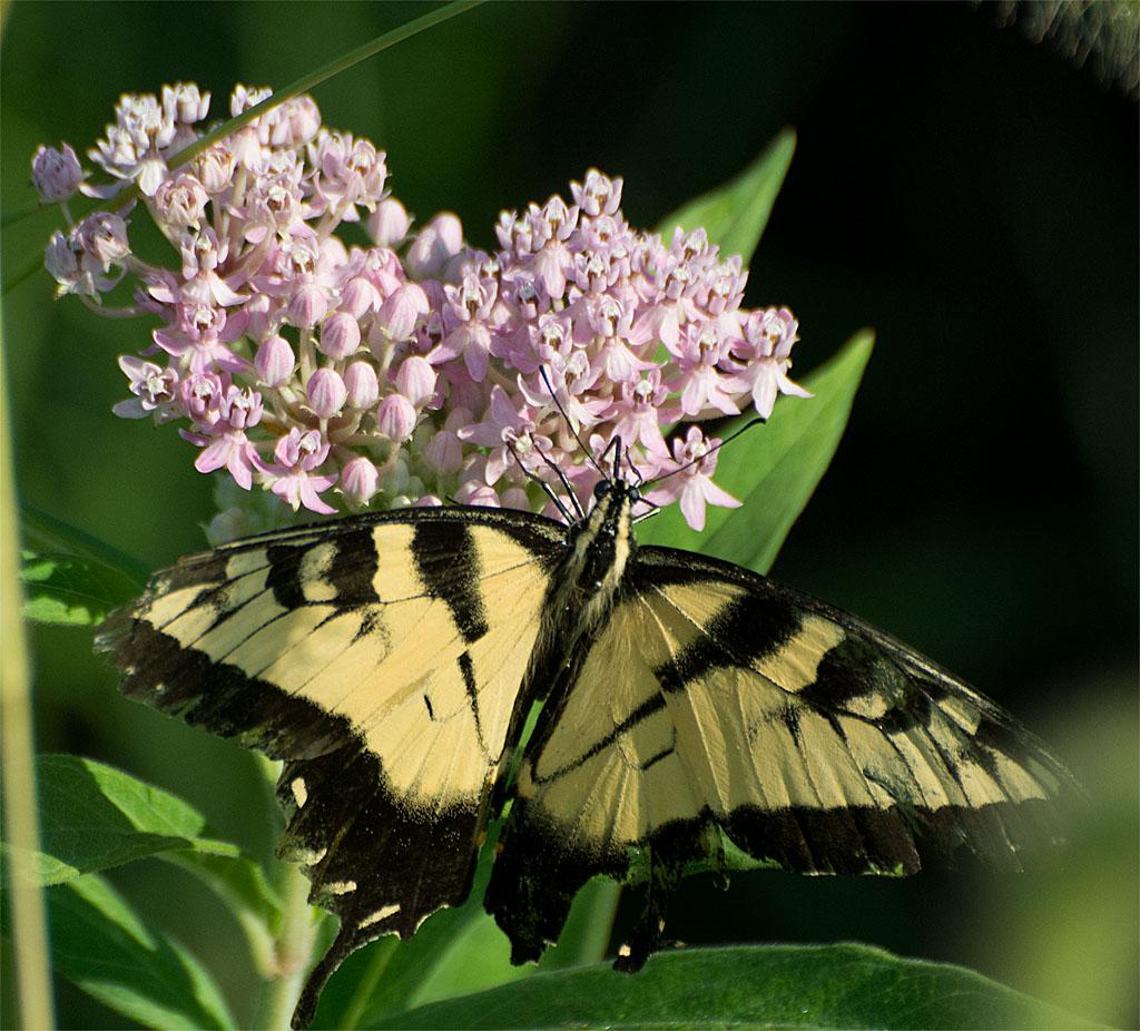 Eastern Tiger Swallowtail 61
