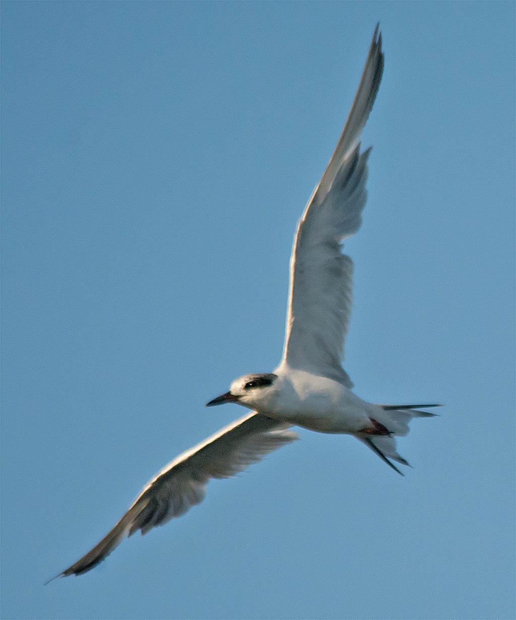 Forster's Tern 2016-9