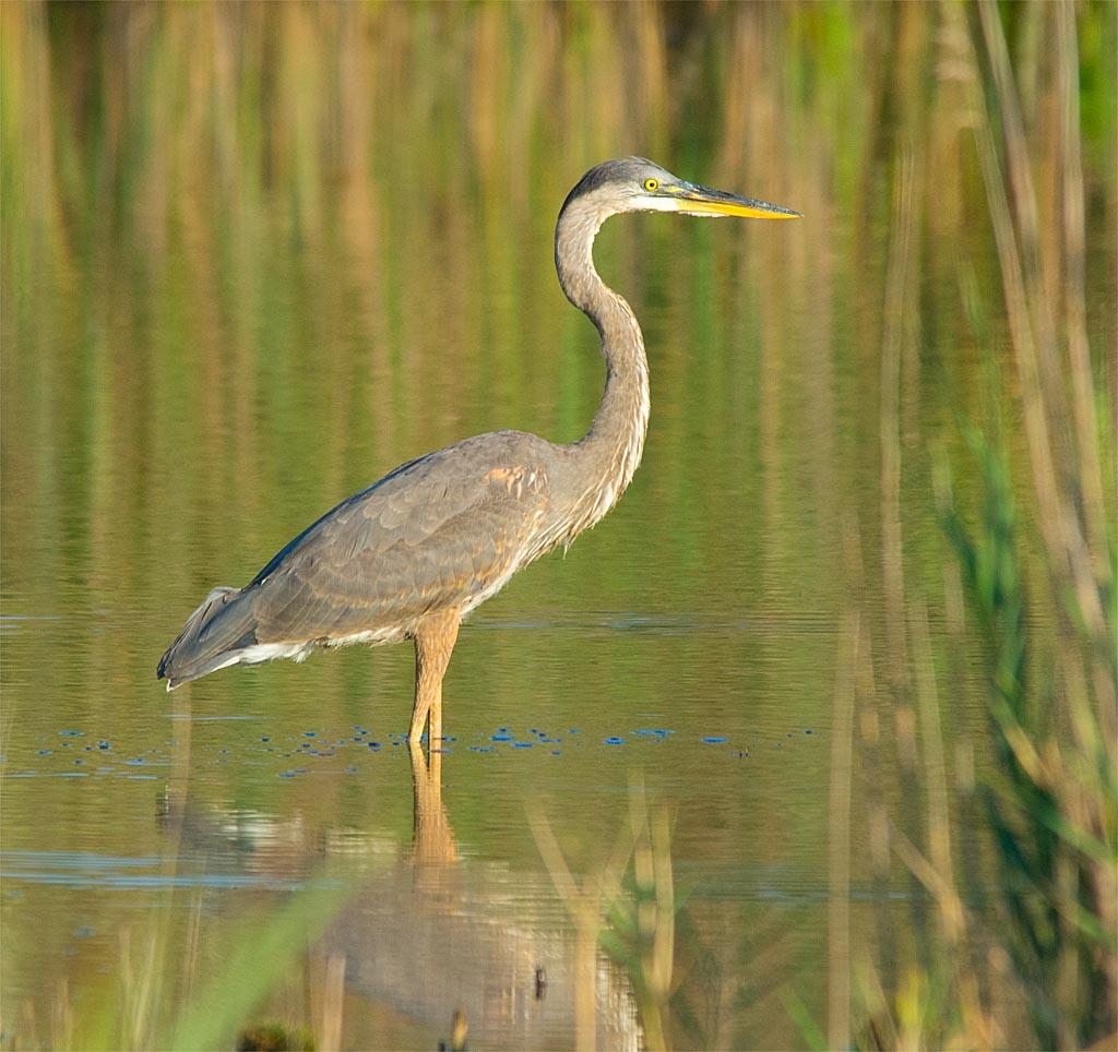 Great Blue Heron 2016-69