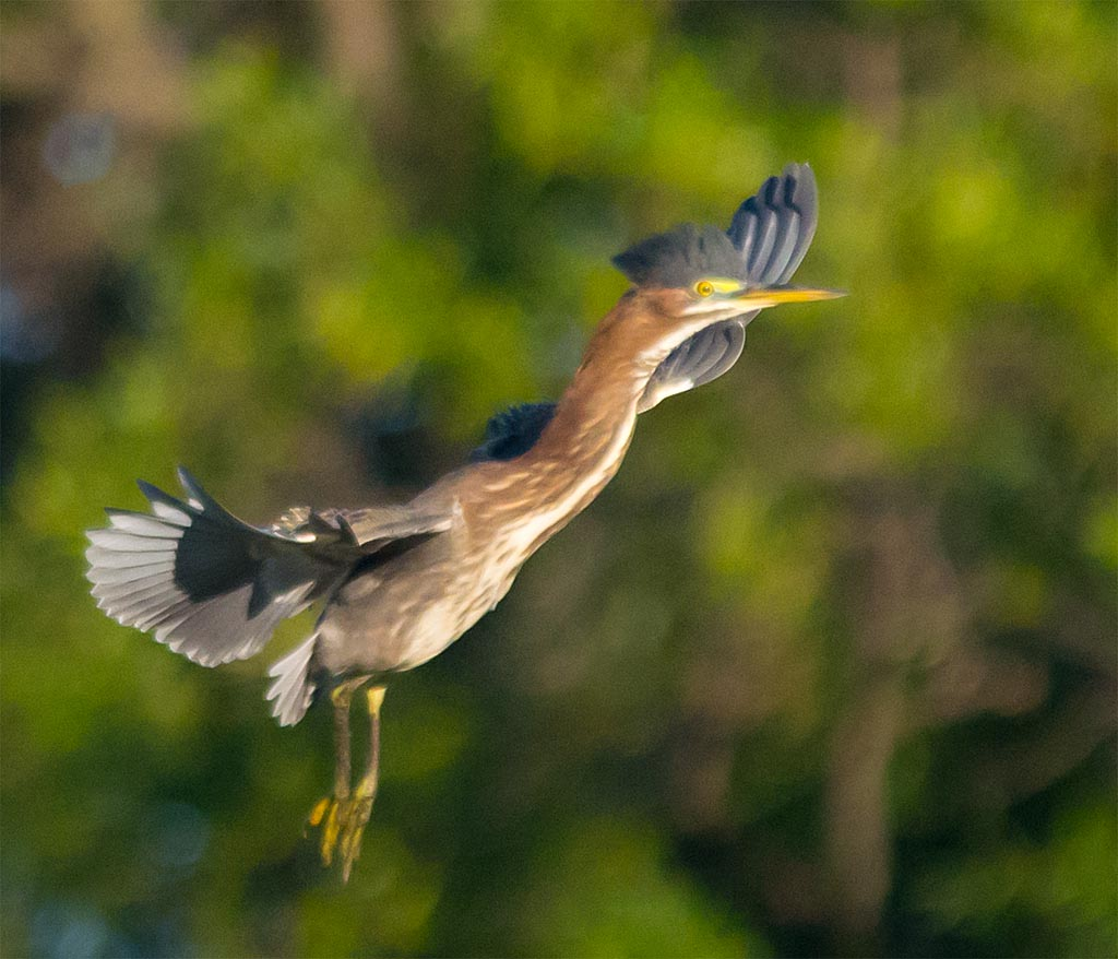 Green Heron 2016-61