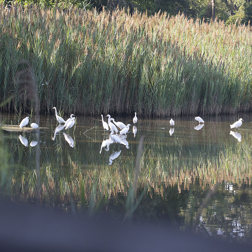 Snowy Egret 2016-119