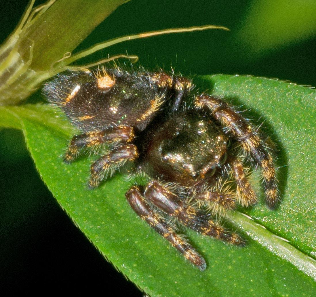 Spider 271